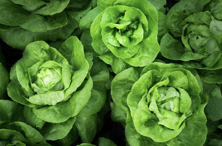 Lettuce Types and Varieties