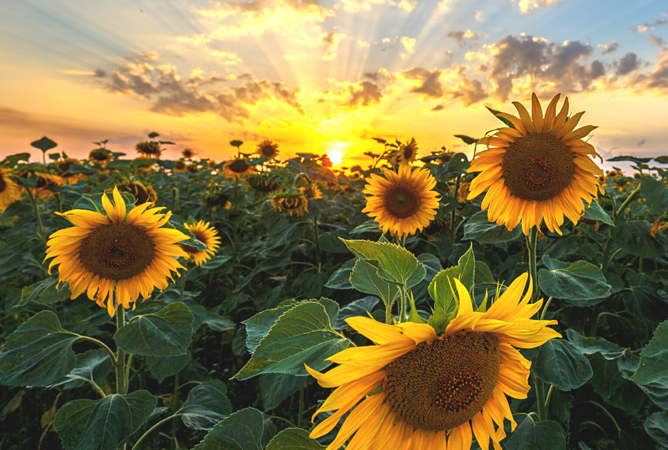 Sunflower Types and Varieties