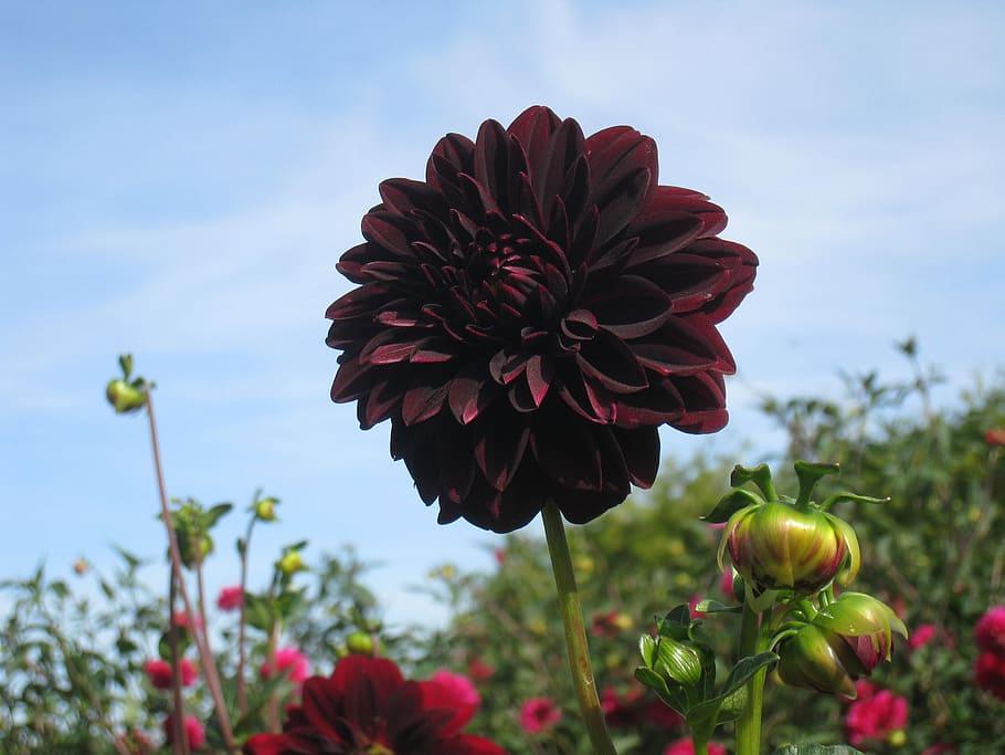 black dahlia flower