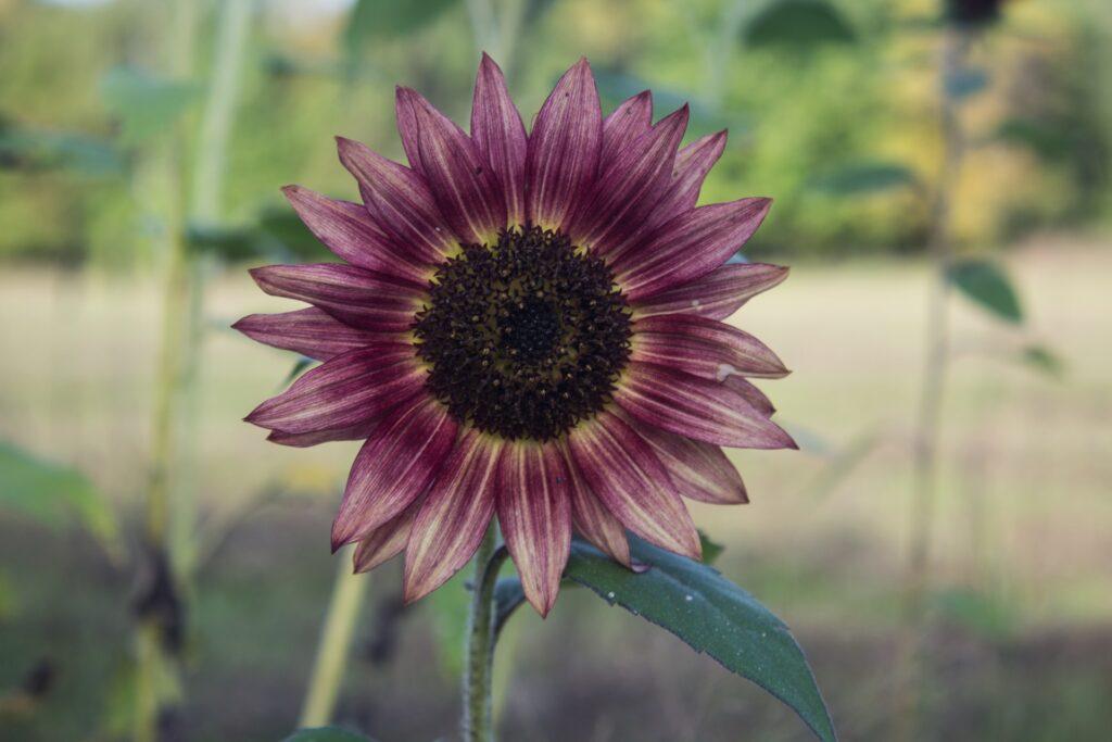 purple sunflower growing