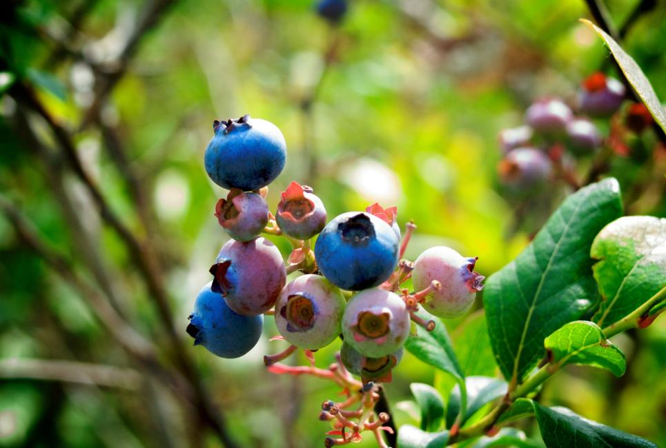 Best Blueberry Companion Plants
