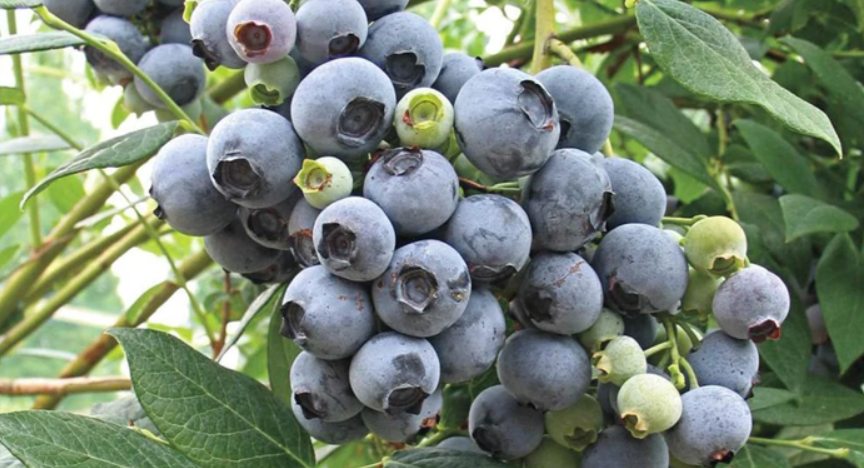 Legacy Blueberry