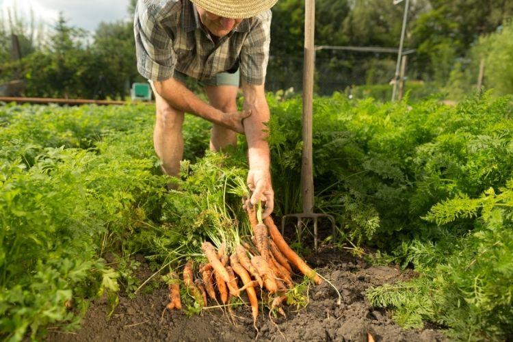 Farmer Carrot Field
