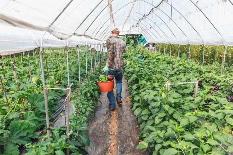 Farmer Harvesting Peppers