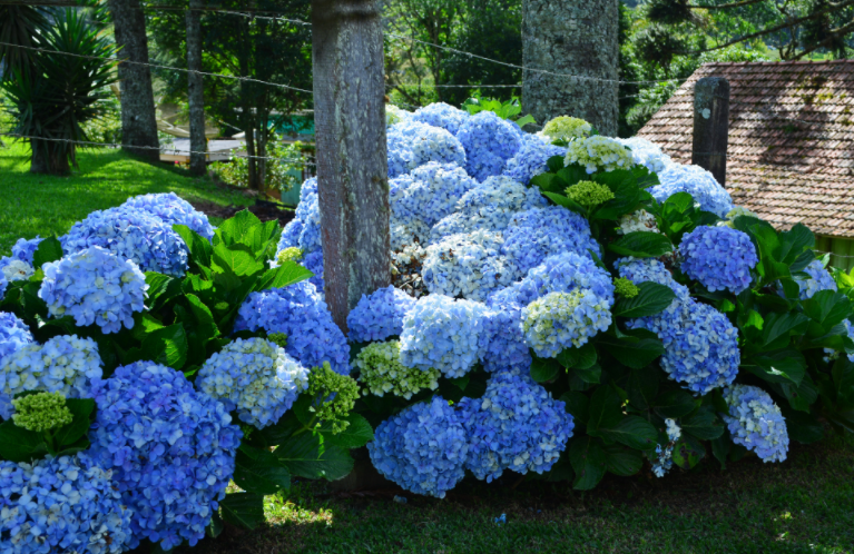 Hydrangea Types Growing Guide