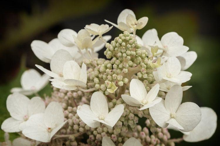 Hydrangea Types Growing Guide: Oakleaf Hydrangeas