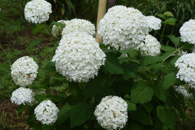 Hydrangea Types Growing Guide: Smooth Hydrangeas