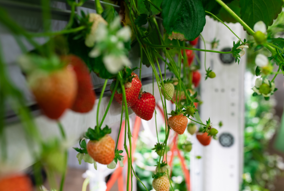 Best Strawberry Companion Plants